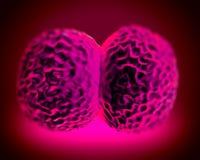 Neisseria meningitidis bacteria Stock Image