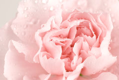 nejlika Royaltyfri Fotografi