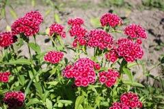 Nejlika blomma, kryddnejlika, rosa färg, kryddpeppar Arkivfoton