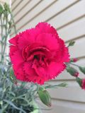 Nejlika för varma rosa färger Arkivbilder