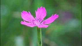 Nejlika nejlikaäng - Dianthuscampestris, nejlikafält, deltamuskler för DianthusdeltoidesDianthus stock video