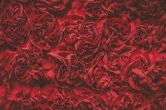 nejlikan blommar red Arkivfoton