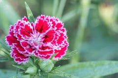 nejlikan blommar red Royaltyfria Bilder