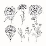 Nejlikan blommar teckningen och skissar med linje-konst Arkivfoto