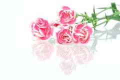 nejlikapink Royaltyfri Fotografi