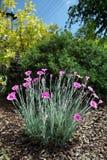 Nejlikor i trädgården Royaltyfri Foto