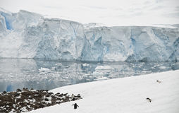 Neko Harbor Galacier and Penguin Colony. A small, isolated Gentoo Penguin colony gives scale to the huge glacial front behind it - Antarctic Peninsula royalty free stock photos