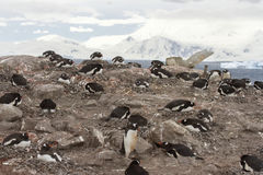 Neko Harbor rookery, Antarctica Royalty Free Stock Photo