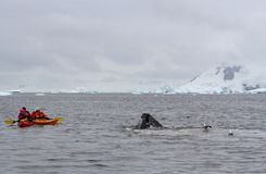 A humpback whale Megaptera novaeangliae feeding in front of a kayakers, Antarctica royalty free stock image