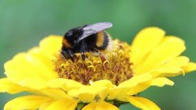 Nektar för bihumladrink på blommor stock video
