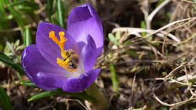 Nektar för honungbin mot efterkrav på krokusar stock video