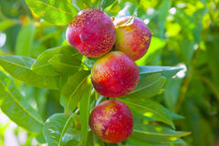 Nektarinen bär frukt på ett träd med röd färg Arkivbild