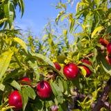 Nektarinen bär frukt på ett träd med röd färg Arkivbilder