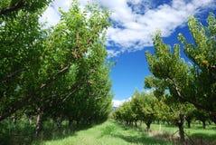 nektarinfruktträdgård Fotografering för Bildbyråer