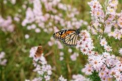nektaru motyli monarchiczny popijanie Fotografia Royalty Free