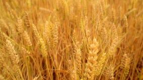 Nel campo di frumento Macchina fotografica che si muove tramite le orecchie di maturazione dorate del grano nella raccolta della  video d archivio