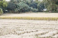 Nel film, il raccolto maturo del riso fiorisce fotografia stock libera da diritti