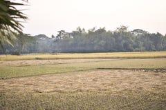 Nel film, il raccolto maturo del riso fiorisce immagine stock libera da diritti