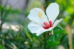 Nel fuoco selettivo un bello fiore rosso bianco del fiore dell'ibisco in un giardino immagine stock