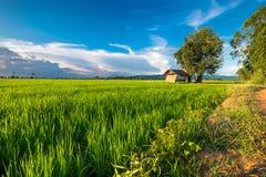 Nel giacimento del riso Immagini Stock Libere da Diritti