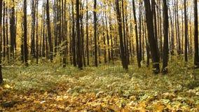 Nel giallo della foresta di autunno le foglie dorate cadono alla terra Foglie di giallo sugli alberi La terra è coperta di foglie stock footage