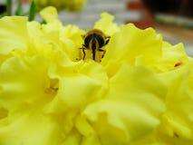Nel giardino di estate la vespa raccoglie il nettare su un giardino floreale giallo Immagine Stock