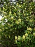 Nel giardino fiorisce l'anziano della pianta Fotografia Stock Libera da Diritti