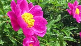 Nel giardino nella pioggia stock footage