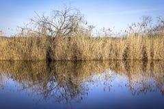 Nel lago, bella riflessione della canna Fotografia Stock