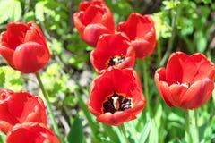 Nel letto di fiore sta coltivando alcuni bei tulipani rossi Nei precedenti delle foglie verdi e dell'erba Immagine Stock