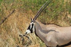 Nel paese in Africa - Oryx Fotografie Stock Libere da Diritti