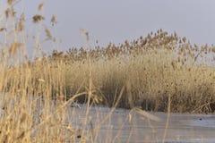 Nel parco il Brambling femminile degli uccelli canori immagini stock