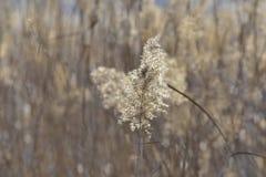Nel parco il Brambling femminile degli uccelli canori fotografia stock
