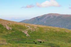 Nel prato alpino, un gregge dei cavalli sta pascendo Fotografia Stock Libera da Diritti