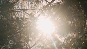 Nel telaio con un piano, rami dell'abete, attraverso cui la luce solare penetra, lascianti un abbagliamento del sole video d archivio