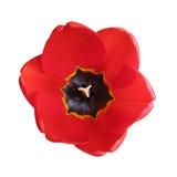 Nel tulipano? Fotografia Stock Libera da Diritti