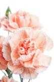 nelke Schöne Blume auf hellem Hintergrund Stockfotografie
