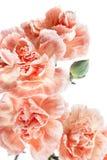 nelke Schöne Blume auf hellem Hintergrund Lizenzfreie Stockfotos