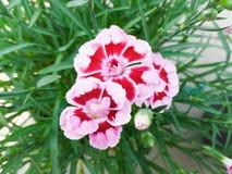 Nelken-Blume Stockbild