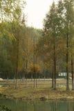 Nell'albero del ginkgo Immagini Stock