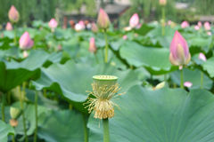 Nell'ambito dei precedenti dei fiori di loto Immagine Stock
