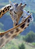 Nell'amore! Baciare della giraffa Fotografie Stock