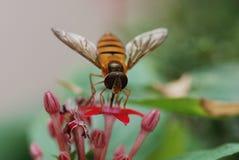 Nell'ape del miele del fiore Immagine Stock Libera da Diritti