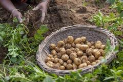Nell'inverno alcuni agricoltori locali sono sulla patata che raccoglie il campo in Thakurgong, Bangladesh Fotografie Stock Libere da Diritti