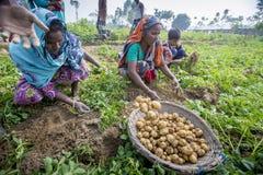 Nell'inverno alcuni agricoltori locali sono sulla patata che raccoglie il campo in Thakurgong, Bangladesh Fotografia Stock Libera da Diritti