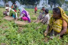 Nell'inverno alcuni agricoltori locali sono sulla patata che raccoglie il campo in Thakurgong, Bangladesh Immagine Stock