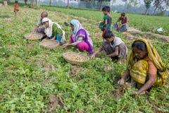 Nell'inverno alcuni agricoltori locali sono sulla patata che raccoglie il campo in Thakurgong, Bangladesh Fotografia Stock