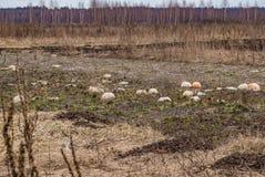 Nell'inverno, il raccolto delle zucche è stato andato, nella caduta che non hanno raccolto in tempo, essi ha perso il raccolto immagine stock libera da diritti