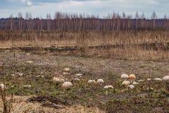 Nell'inverno, il raccolto delle zucche è stato andato, nella caduta che non hanno raccolto in tempo, essi ha perso il raccolto fotografie stock libere da diritti