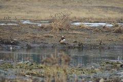 Nell'inverno, le anatre di mandarino sono nel lago Immagini Stock Libere da Diritti